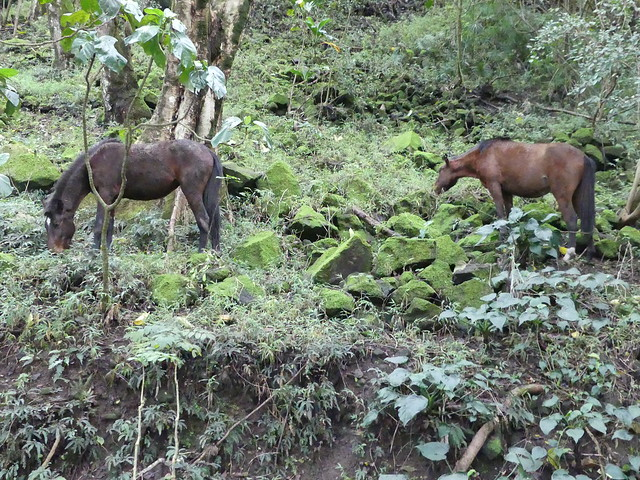 Big Island in 3 days: wild horses at Waipi'o Valley