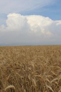 Z Crew: wet wheat