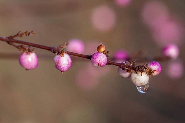 Symphoricarpos Doorenbosii 'Amethyst' (snowberries/coralberries)