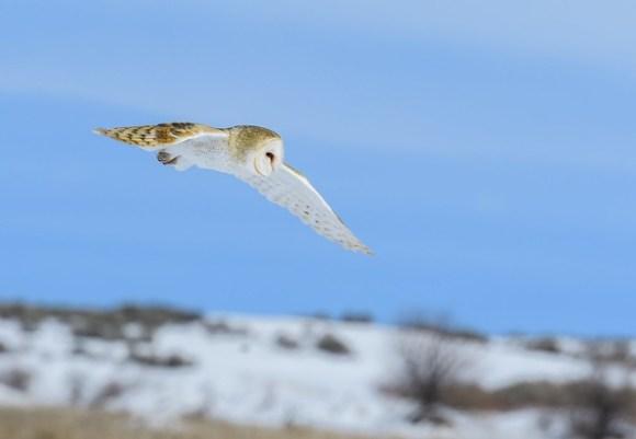 Barn Owl 0265