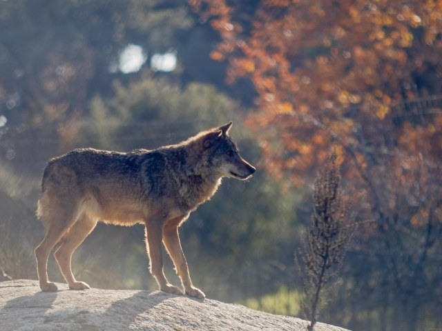 Resultado de imagen de lobo