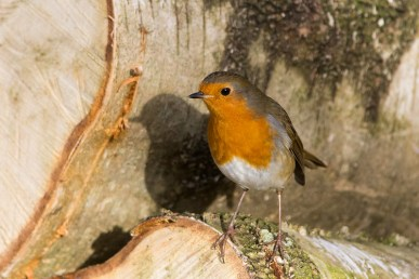 Robin on a woodpile