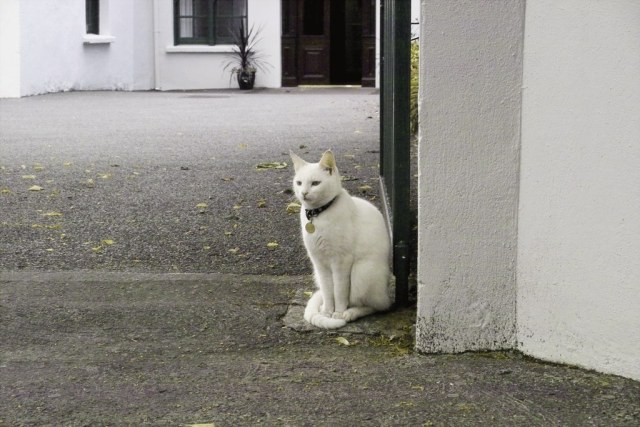 White cat guarding the entrance