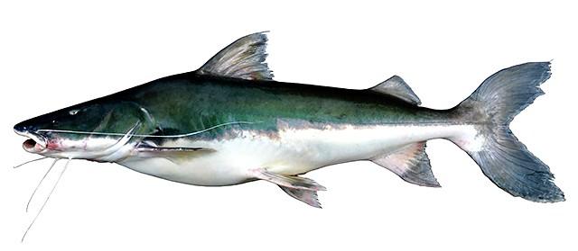 Peixe da Amazônia é o que faz a mais longa migração do planeta, aponta pesquisa, piramutaba