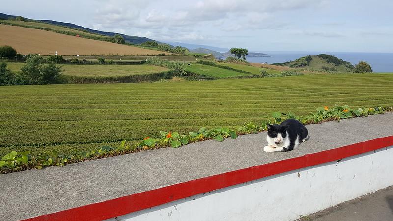 Plantação de chá Gorreana- São Miguel- Açores