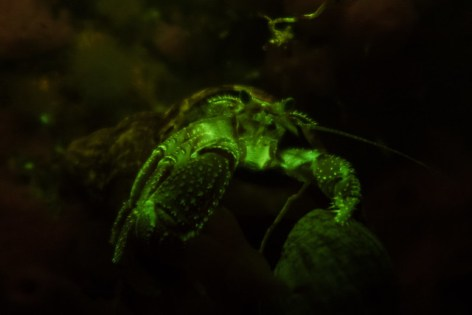 Hermit Crab fluorescing under blue light