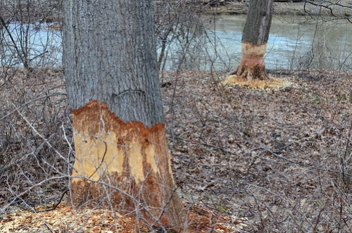 The beavers are eating these trees.