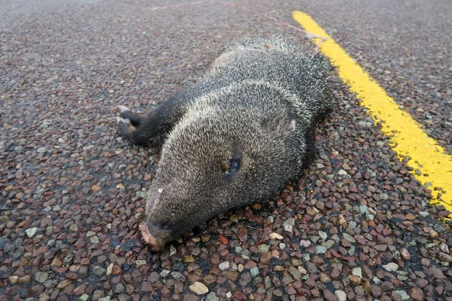 dead Javelina in the road, outside Marathon, TX