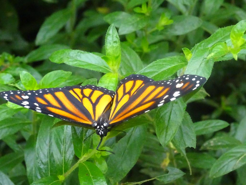 Selvatura Park mariposa  monarca Monteverde Costa Rica 05