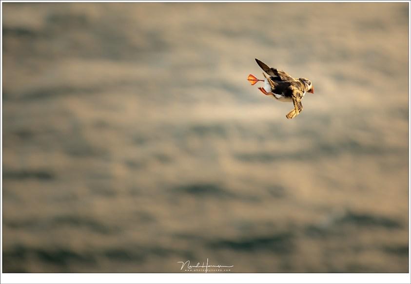 Het zijn acrobaten die dansen op de adem van de wind, met hun kleine vleugels en hangende poortjes (200mm   ISO400   f/4   1/200)