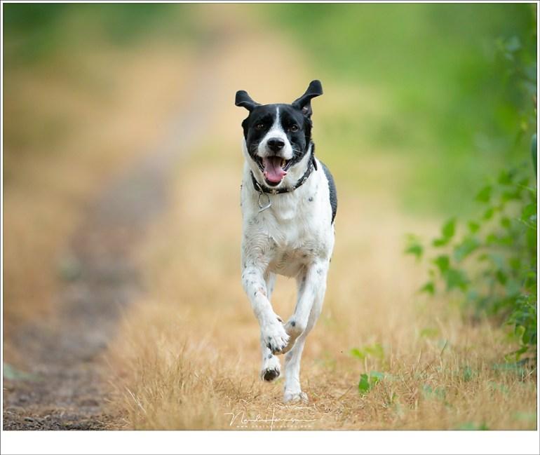 Tracking is geen probleem bij de EF800mm f/5,6L; in combinatie met de EOS 1Dx had de autofocus geen enkele moeite om de hond scherp te houden... tot de afstand minder dan 6 meter wordt want dat is de minimale scherpstel afstand. Maar dan heb je alleen nog de neus in beeld... (ISO800 | f/5,6 | 1/1000 | 27 meter afstand)
