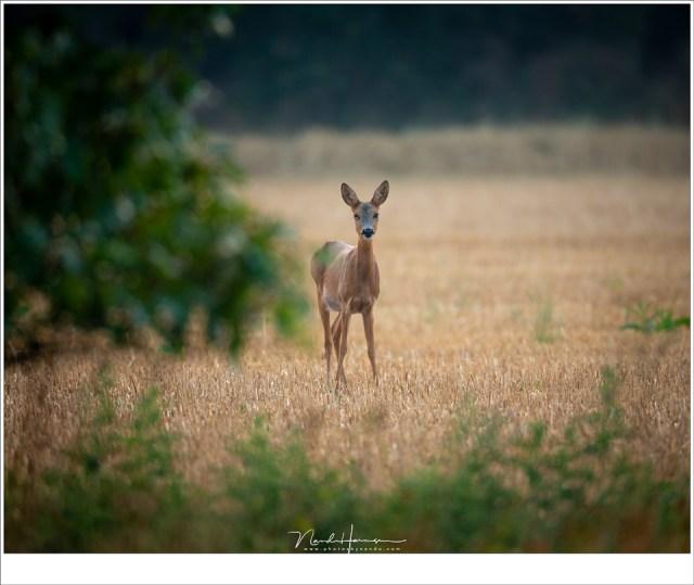 Een ree op de Strabrechtse Heide (ISO640 | f/5,6 | 1/125 | 58,5 meter afstand | gecropt in 5:4 formaat)