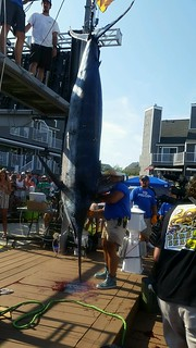 Photo of 881 pound blue marlin caught in Ocean City