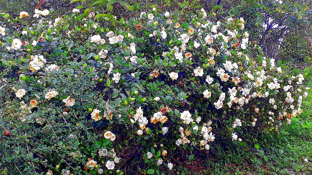 ~ 梔子花 ~..學名..Gardenia jasminoides Ellis. 別名:山黃梔 ,山梔, 黃枝子,梔…   Flickr