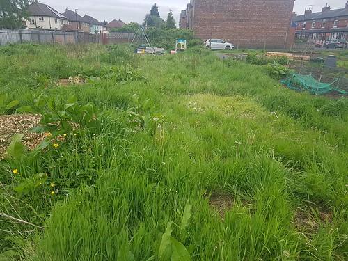 Allotment long grass ready for the scythe