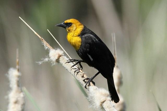 Xanthocephalus xanthocephalus ♂ (Yellow-headed Blackbird)