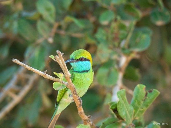 Green Bee Eater - Yala, Sri Lanka.jpg