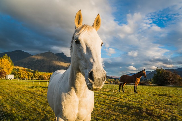 I was driving home one afternoon and saw this brilliant white horse in the paddock and couldn't pass up the opportunity to take a picture. #newzealand #queenstown #sunset #autumn #horse