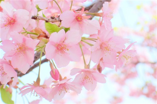 Spring Pink 2 Noe Flickr