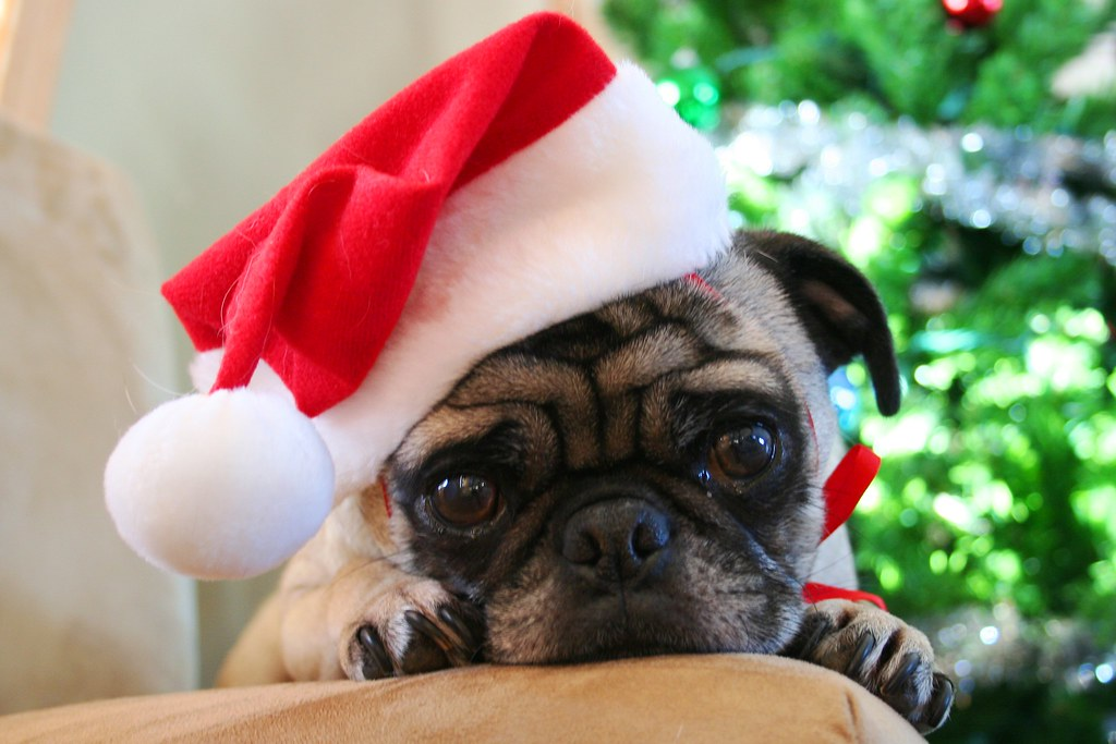 Santa Pug IMG5980 This Is The Image Im Using For Our