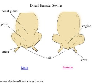 Sexing Dwarf Hamsters Diagram   This shows the dwarf