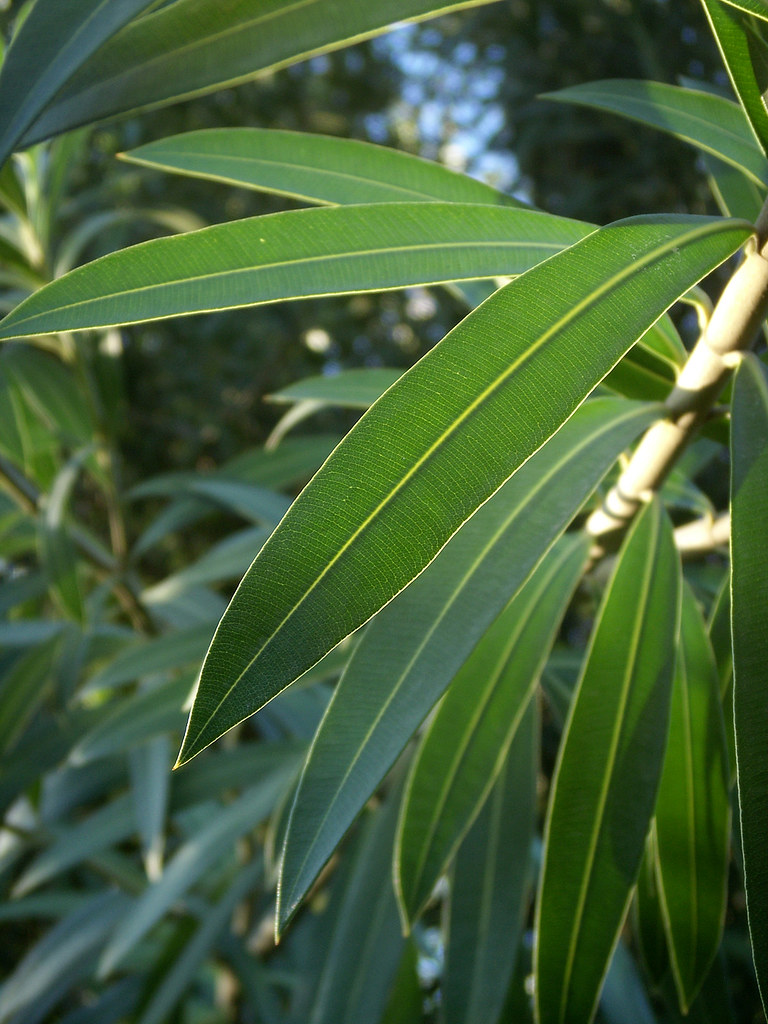 Oleander Leaves With Sky This Is The Better Image Of The