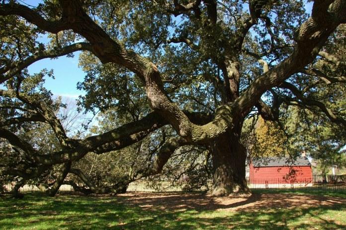 Image result for hampton university emancipation oak tree
