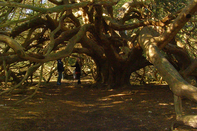 Yew At Kingley Vale Flickr Photo Sharing