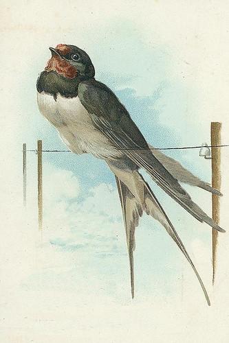 Vintage Postcard Swallow Bird Chicks57 Flickr