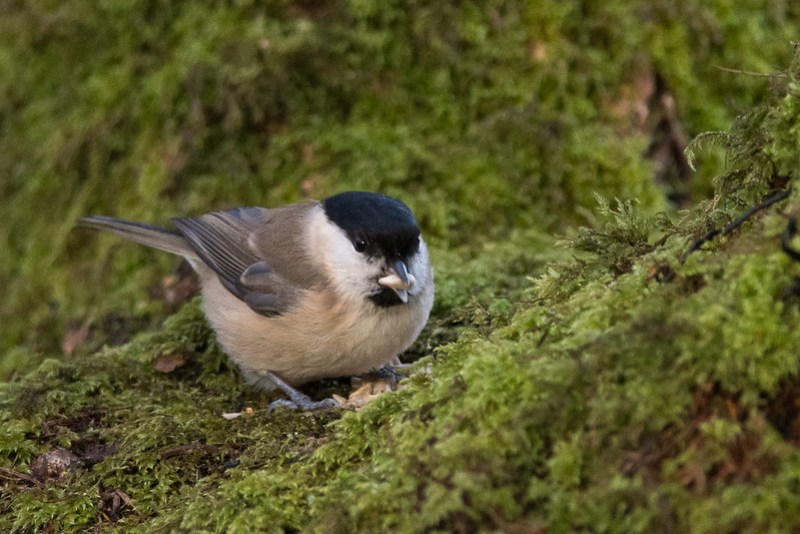 Marsh Tit eating a sunflower heart