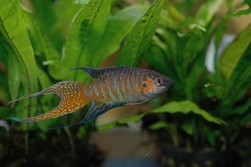 Paradise fish male