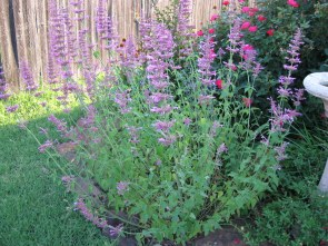 hyssop is great for colds learn more here - agreenerlife