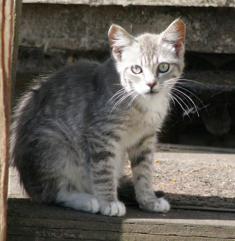 Little Silver Tabby Kitten Season Is Almost Over So I