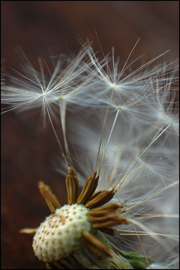 Dandelion Seeds An Extreme Close Up Of The Fuzzy Little