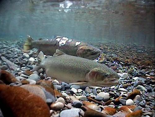 Image result for steelhead spawning