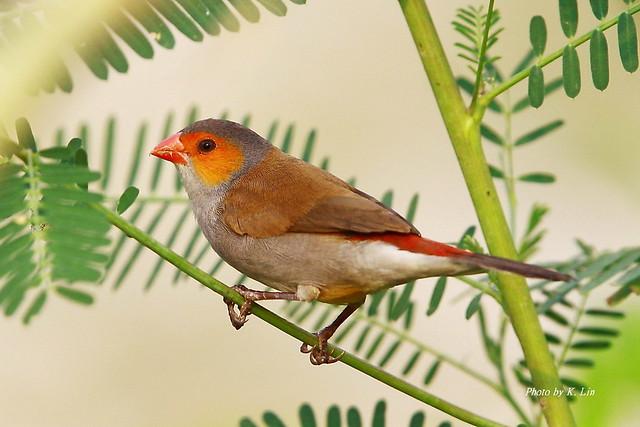 橙頰梅花雀- 紅頰雀/ 籠中逸鳥   學名:Estrilda melpoda 英名:Orange-Cheeked Wax…   Flickr