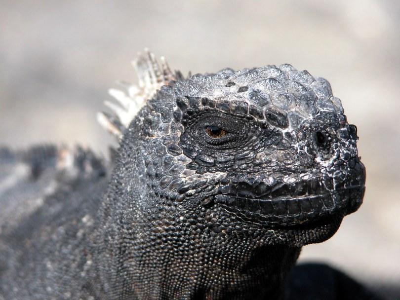 Marine Iguana - Galapagos Island