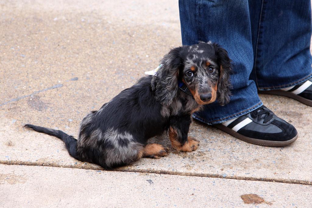Dachshund Puppy Saw A Cute Long Haired Dachshund Puppy