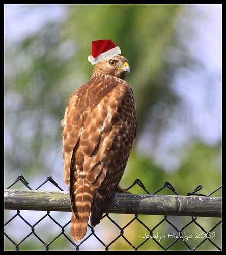 Chrismas Hawk