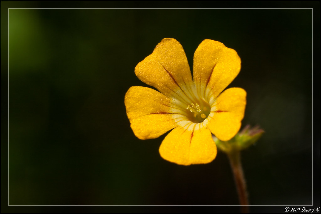 Mukkooti Very Small Flower 5 8mm Diameter Found In