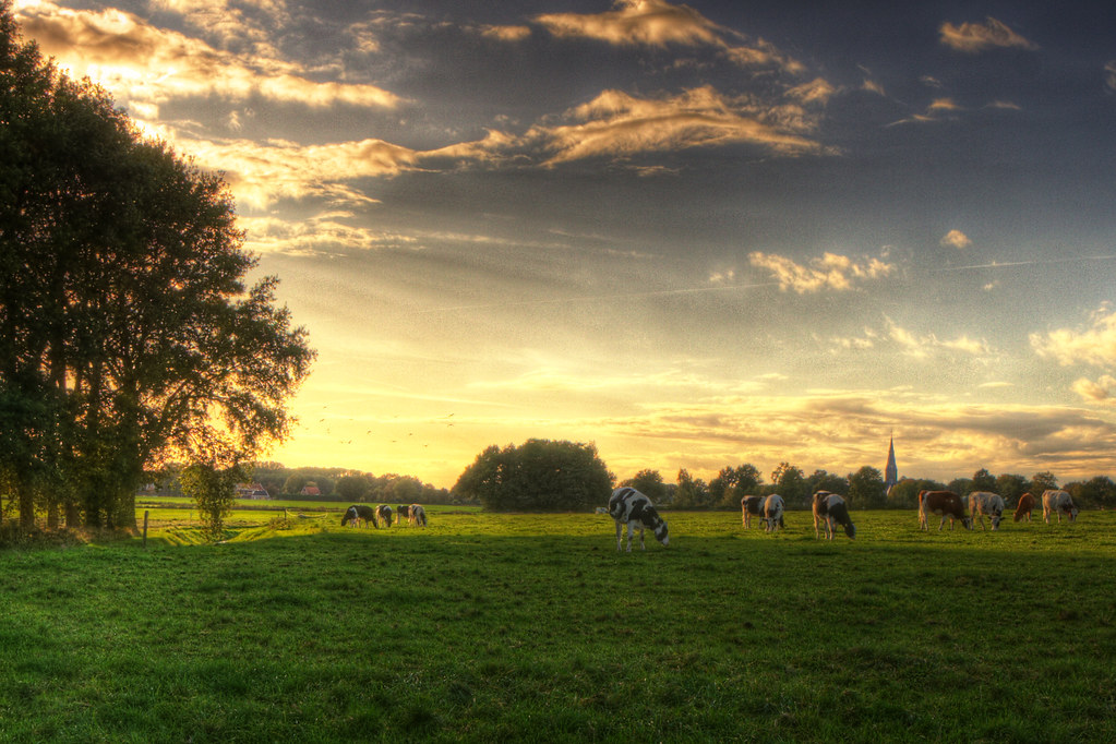 Dutch Landscape Wallpaper Cows Zoutedrop Flickr
