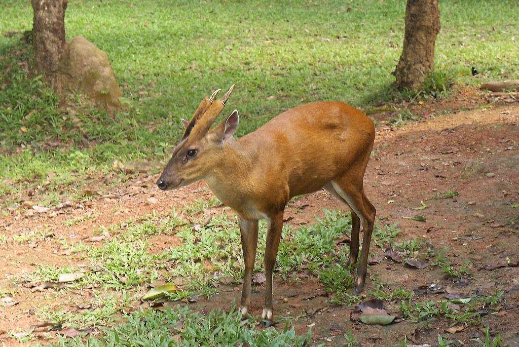 Barking Deer Or Muntjac 091110 0186 Thailand Khao Yai Na Flickr