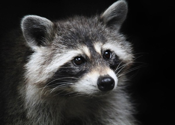 Concentration Raccoon procyon lotor staring utterly