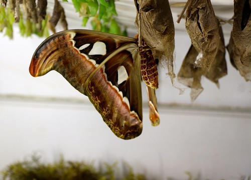 Atlas Moth, a.k.a. Snake's Head Moth, the worlds largest m ...