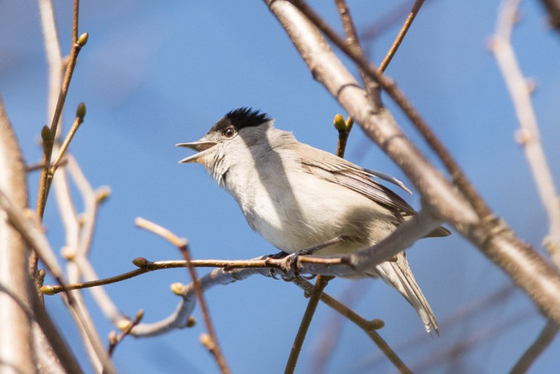 Blackcap at Kenworthy Wood, Northern Moor.