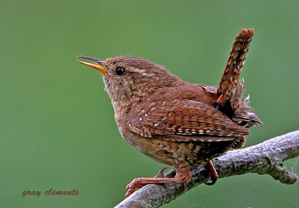 jenny wren | as seen on main page of www.bbc.co.uk/nature ...