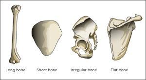 Bone types | Illustration used in Gr 46 Natural Sciences an… | Flickr