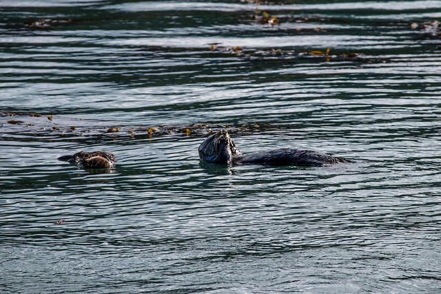 Sea Otter In Whaler's Cove Point Lobos