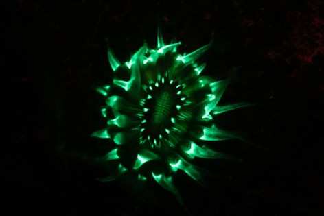 Fluorescing Devonshire Cup Coral