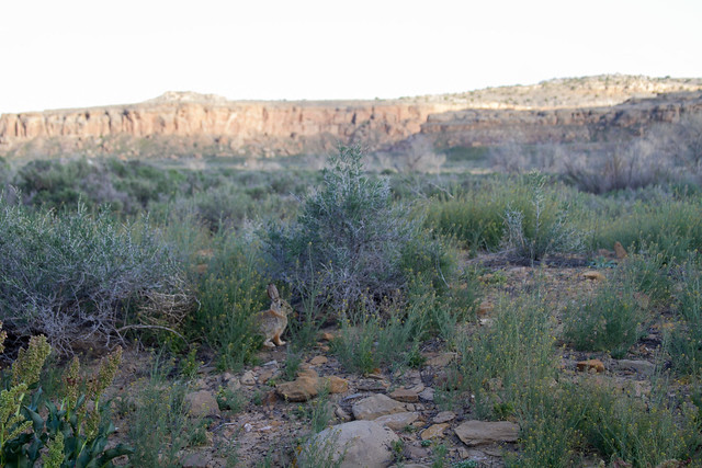 Rabbit in Chaco Canyon